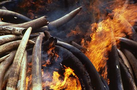 ivory burn c BFF An ivory burn. © BFF