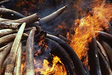 ivory burn f BFF1