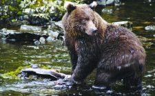Bear at Anan Creek, Tongass National Forest, Alaska. Credit: USFS.