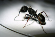 ant 225x150 Pests: Cant We Just Kill Them All?
