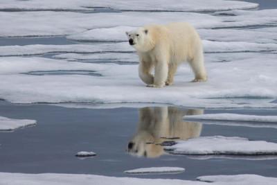 Arctic warming threatens not only polar bears