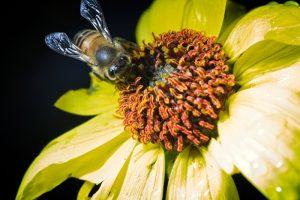 bee on flower 300x200 Earthtalk Q&A