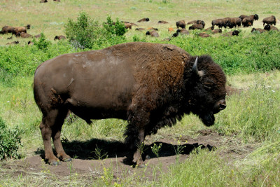 bison 400x267 Bill Threatens Montana Wildlife Heritage