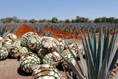 blue agave tequila ocho 400x267 Greener Booze: Why Stop Caring When Its Party Time?