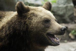 brown bear 300x200 Earthtalk Q&A