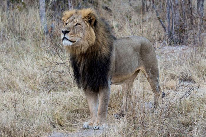 cecil sml Cecil the lion