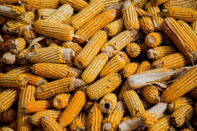 corn 400x267 EarthTalk: Questions & Answers About Our Environment